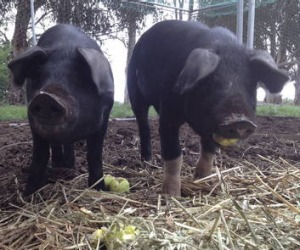 Bryan Martin's Wessex Saddleback pigs at three months old, getting too big to handle.
