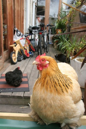 Chickens roam free, mixing with other family pets  in a suburban backyard.