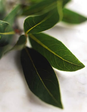 Fresh bay leaves, if overused, can be overpowering in a dish and might need to be removed early during cooking.