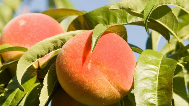 Peaches will travel well in school lunch boxes.