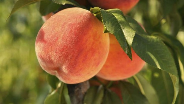 Peaches: Difficult but rewarding in the Canberra climate.
