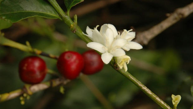 Coffee cherries are the fruit of the coffee shrub.