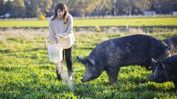 Fairytale life: Pigs at Bundarra Berkshires in southern New South Wales are raised free-range.