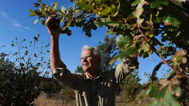 Puzzled: Wayne Haslam in his orchard. He harvested only seven kilograms of truffles last year.