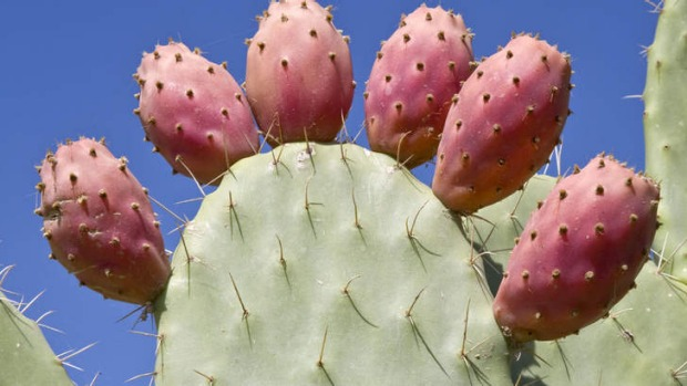 "Opuntia cactus paddles, ""Rows of nopales... were hanging on the wall."""