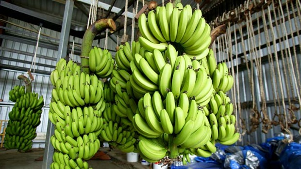 Not good enough: A study found up to 30 per cent of the north Queensland banana crop is rejected before it even reaches ...