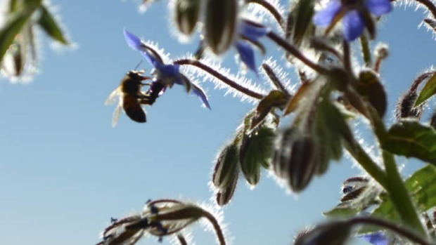 Success! Despite being on the 13th floor of an inner-city apartment building, Indira Naidoo's borage flowers proved ...