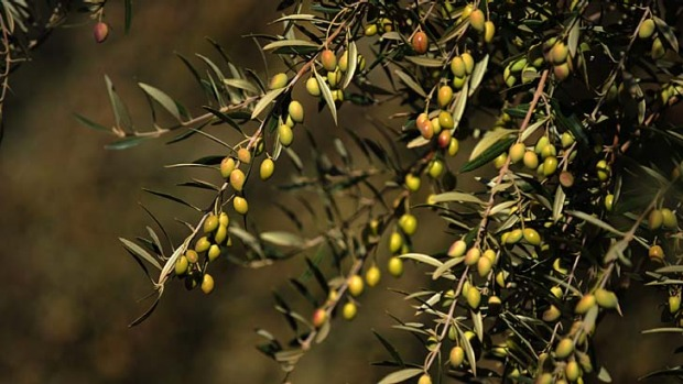 Freshly pressed: Newly pressed olive oil leaves the palate clean, while the best oil tastes peppery.