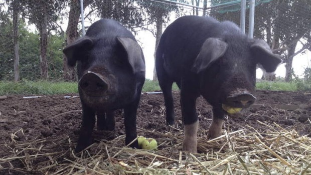 Bryan Martin's pigs, Kevin and Julia, at three months old and still a manageable size.
