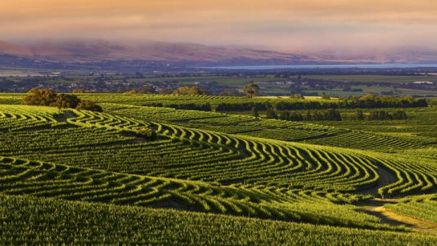 Turning a new leaf: The well-worked gentle slopes of the McLaren Vale region, in South Australia, are mostly being ...