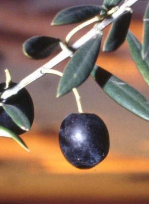 Rylstone Olive Press will make its market debut this Saturday at Pyrmont.