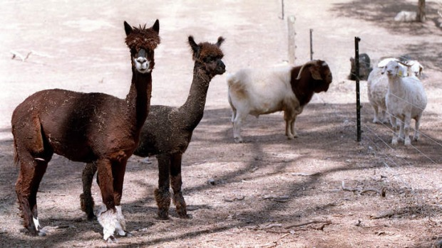 """The """"big alpaca barbecue cook-off"""" is on at Hot Canary in Southern Highlands."""
