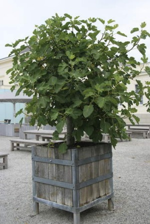 how to grow a fig tree in a container