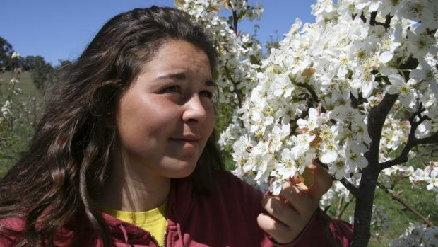 French intern Marie Roqueta inspects blossoms of pear at Loriendale.