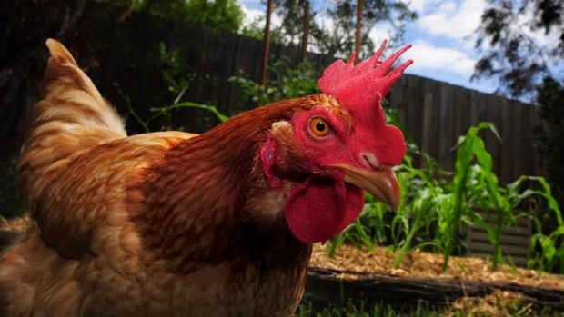 The Canberra Environment Centre will run a workshop on keeping chooks in the backyard on November 23.