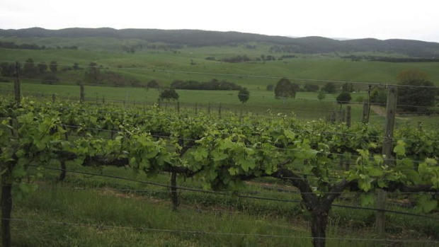 Success ... Tumbarumba vineyards.