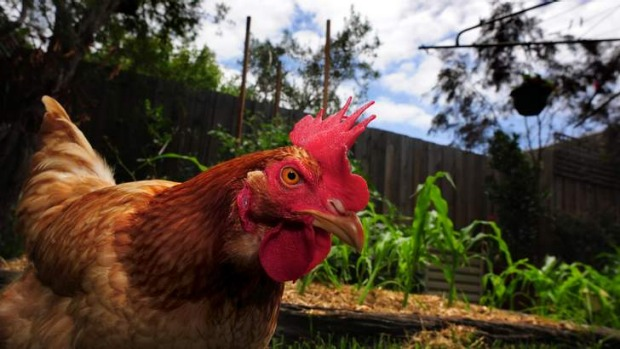A chook workshop will be held at the Canberra Environment Centre on November 23.