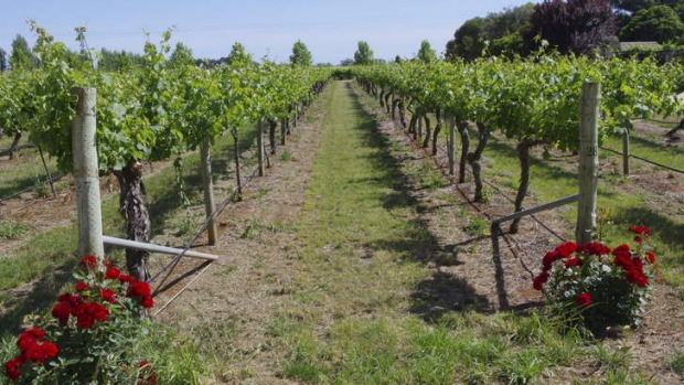 Cabernet sauvignon vines at the Coonawarra Jack Winery in South Australia.
