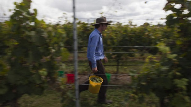 Canberra wineries are busy bringing their grapes in.