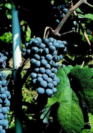 Barbera grapes are becoming more popular.