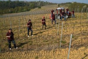 "Workers on the vines at Piedmont's Giacomo Bologna ""Braida""."