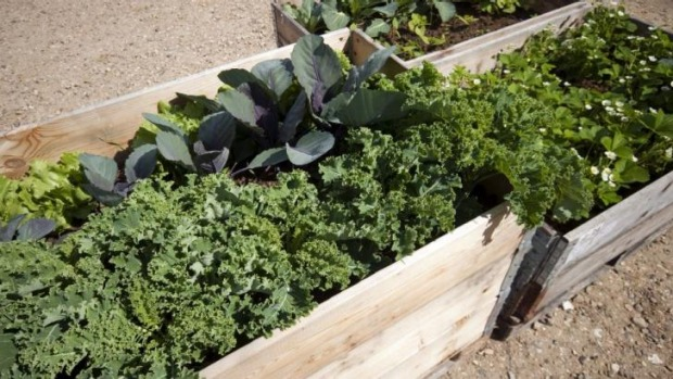 Hardy crop: Kale is quite easy to grow during the cool autumn and winter months.