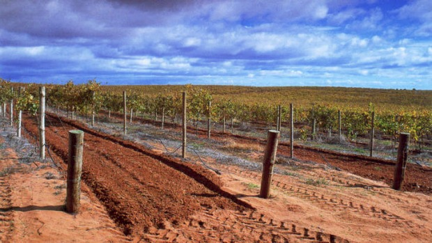Expanding horizons: Grape vines in the Riverland.