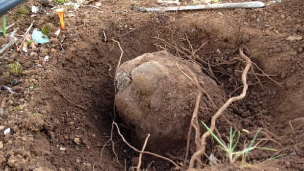 The record-breaking truffle in the ground at Yelverton Truffles.