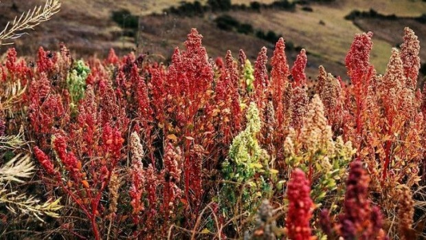 Bright future: Research is under way to understand the genetics of crops such as coloured quinoa.