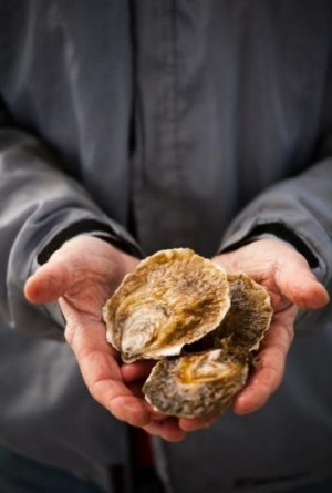 Angasi oysters.