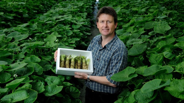 Ideal wasabi-growing environment: Horticulturalist Stephen Welsh at his Tasmanian farm.