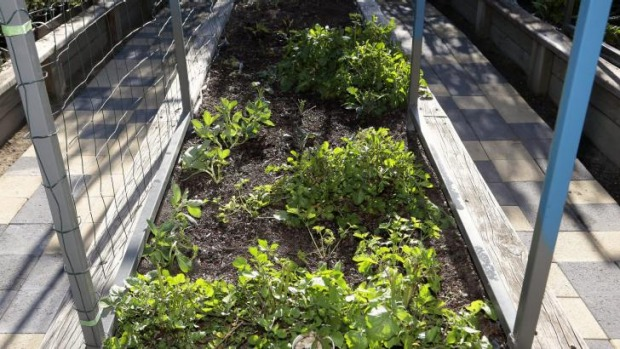 Dom Galloway's bok choy growing in his raised wicking bed that features Geotextile fabric and water inlet.