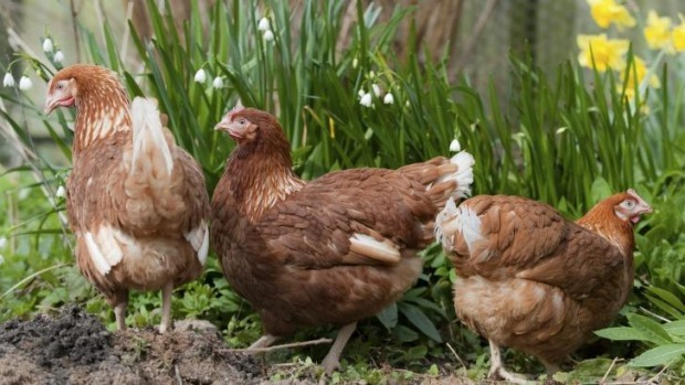 Trio: Spring chickens are ideal for Canberra's backyards.