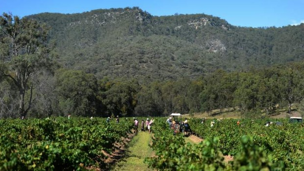 Success: Blue skies helped the harvest at Johnno's vineyard at Tyrrell's Wines in Pokolbin.
