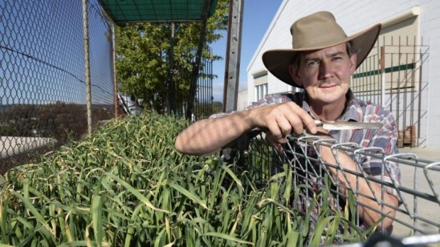 Chris Gregg in his vegie patch with a crop of Monaro garlic that is being grown in space in an industrial area of Queanbeyan.