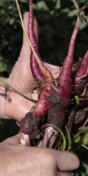 Purple dragon carrots.