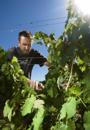 Heat fear: Four Wines Winery's Bill Crowe checks riesling vines during hot weather in February.