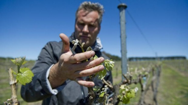 Cold fear: Eden Road's Nick Spencer inspects vines for frost damage.