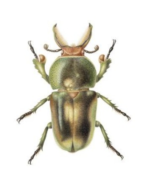 Golden green stag beetle painted in watercolour by Cheryl Hodges of Jerrabomberra.