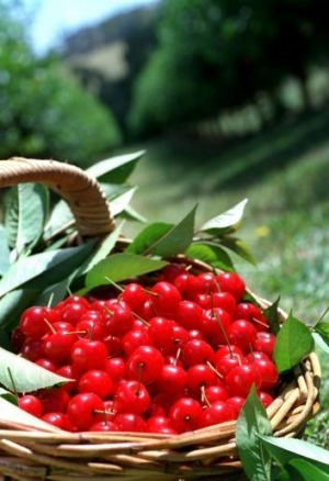 Visit the Mornington Peninsula and pick cherries in Red Hill.