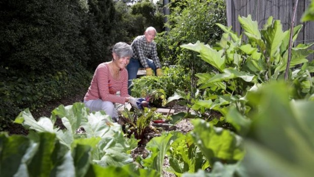 Sharing: Neighbours Jennifer Yeats and Allan O'Neil harvest vegetables from a communal vegetable garden growing in a ...