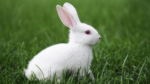The proposed bunny cafe could open in Fitzroy.