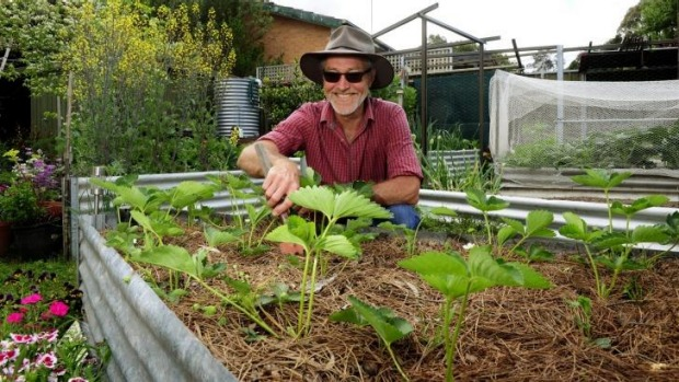 Edwin Ride, of Kambah, weeding in his strawberry garden.