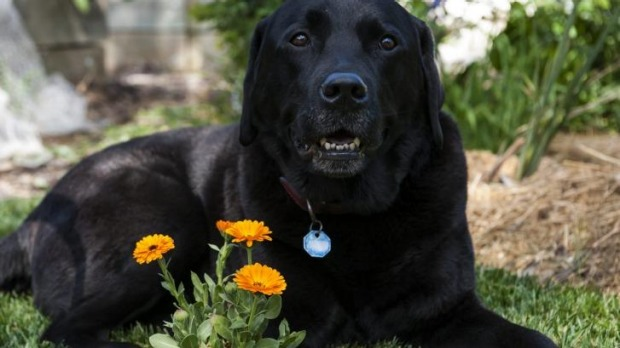 Calendula from Narrabundah is a thing of beauty for eight-year-old labrador Tom.