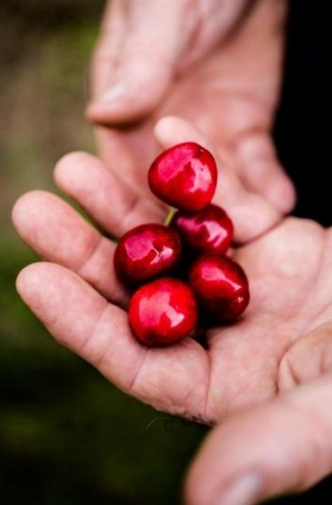 Hands-on: A handful of Red Hill cherries.