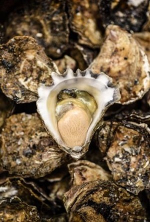 Fat, meaty and luscious: Wapengo Rocks oysters.