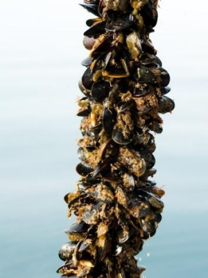 A line of Sea Bounty mussels from Portarlington, Victoria.