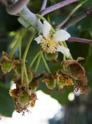 Kiwi fruit flowers.