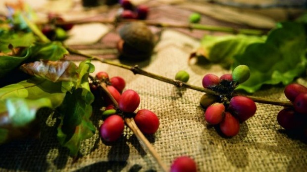 Skybury coffee berries.