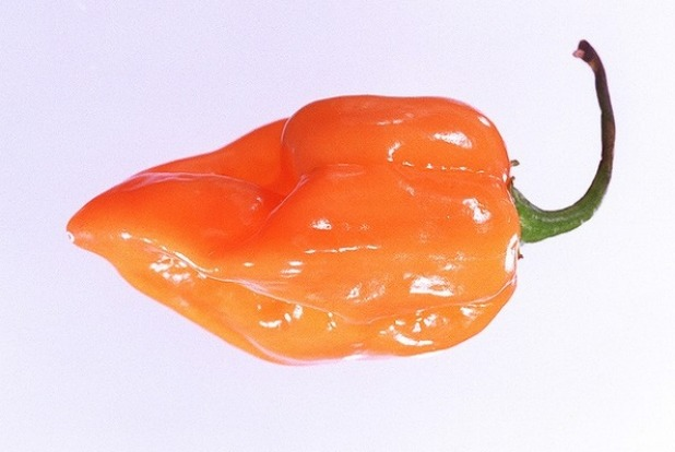 About five centimetres long and wide at the shoulder, tapering to a small point, habanero chillies are intensely hot and ...